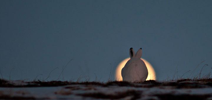 заяц-беляк на фоне луны